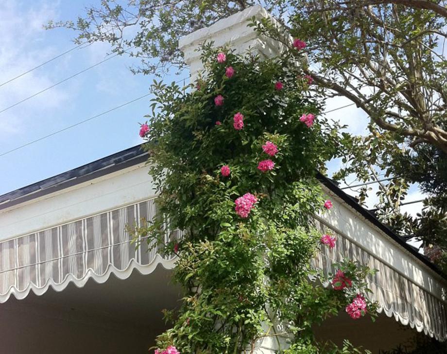 Climbing Rose and Fabric Awning